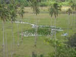 A coconut plantation