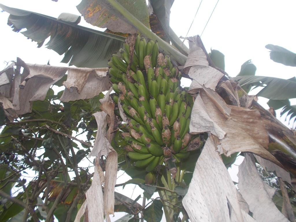 A bunch of green bananas in a banana tree