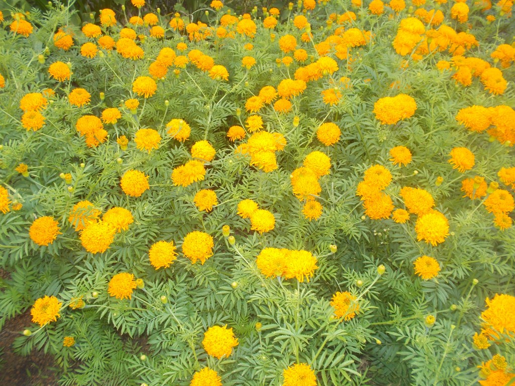 A large garden with a bed of yellow flowers