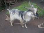 A silver coloured goat with large horns
