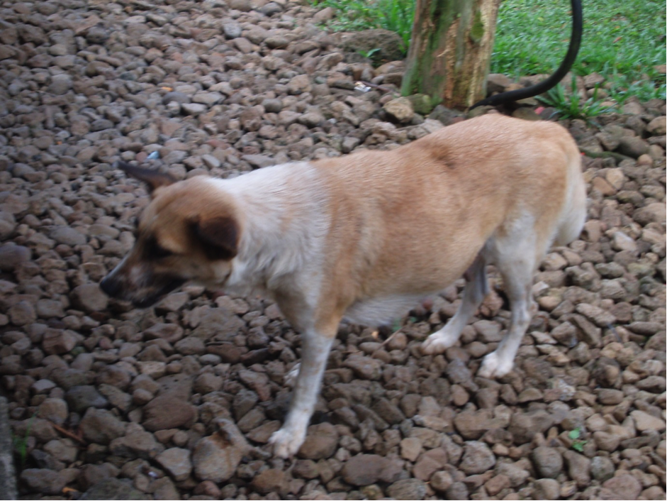 A large brown and white dog