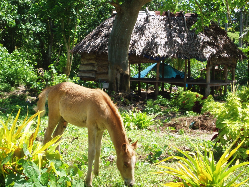 A gold-coloured foal eats grass in a paddock with a traditional shelter in the background