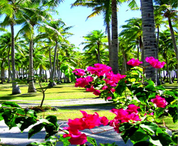 A tropical garden with palm trees and bright pink bougainvillaea in the foreground
