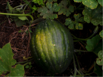 A large green pumpkin on a vine