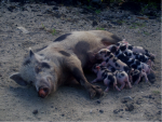 A white sow with large black spots lying on the ground feeding her piglets, which are pink and black spotted